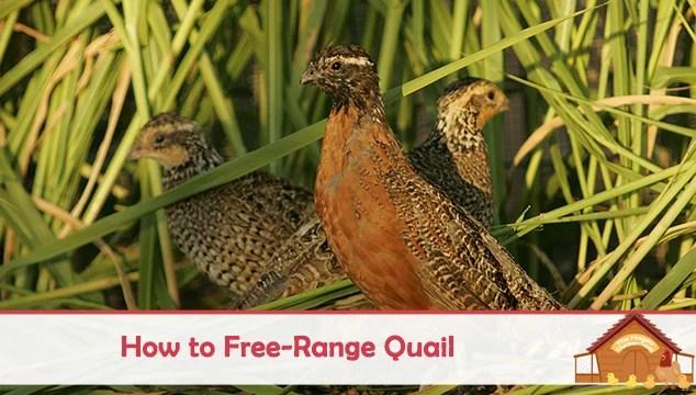 how to free range quail