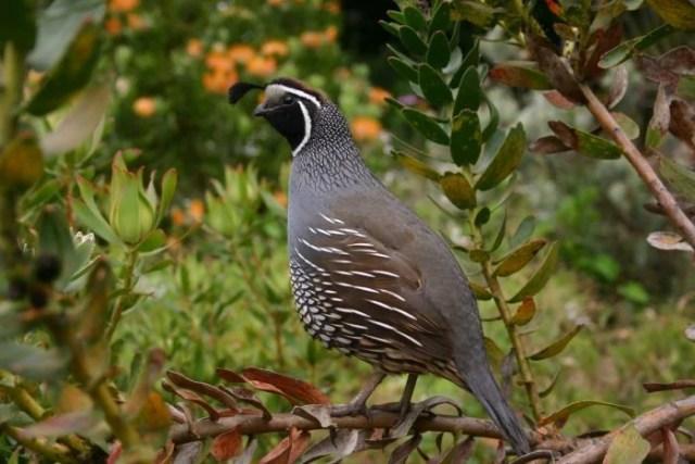 free ranging quail