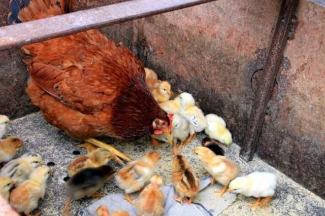 top 7 chicken feeds