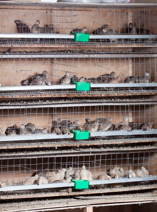 stacked quail cages