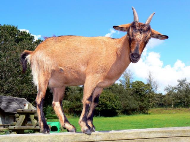 Nigerian Goats