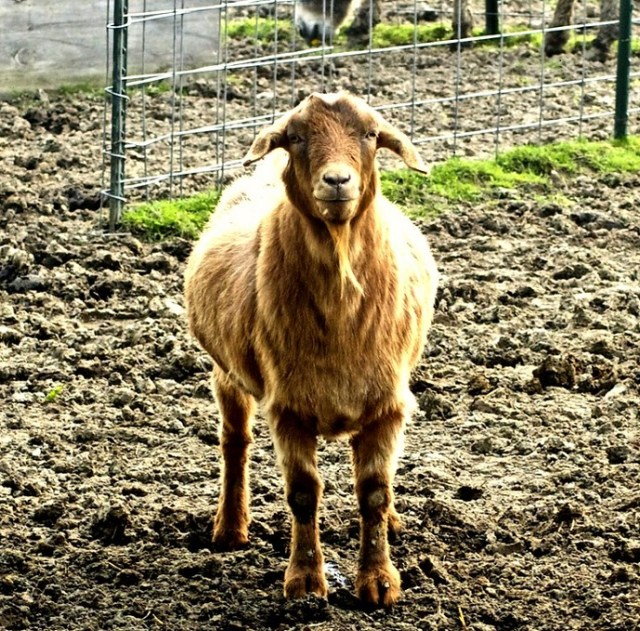 Learn More About Fainting Goats