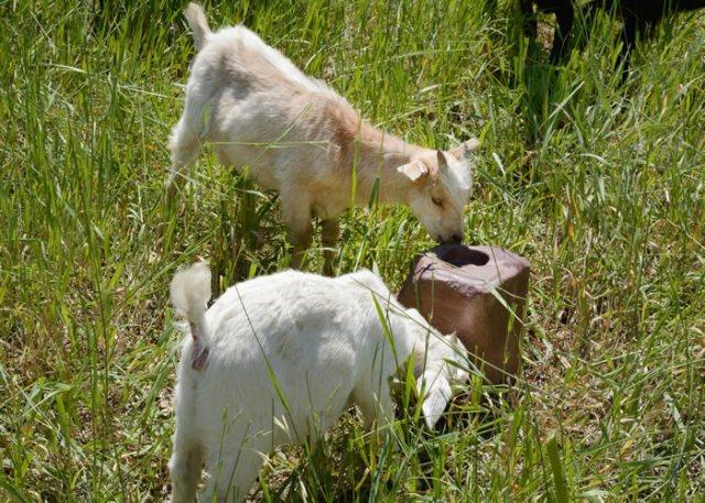 goat mineral block