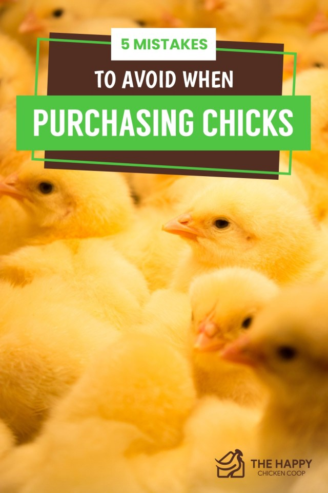 5 Mistakes To Avoid When Purchasing Chicks