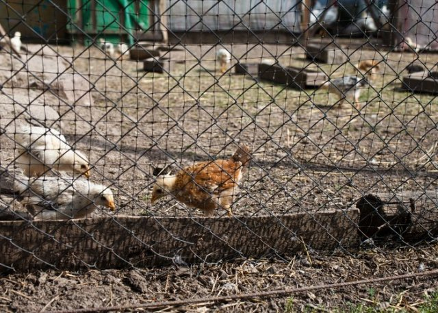 chicken fencing protection