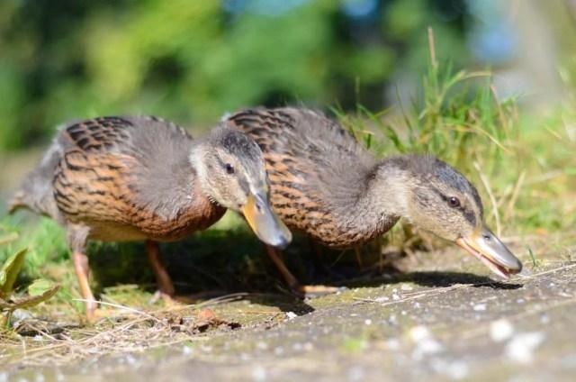 ducks foraging