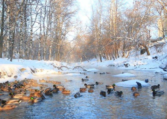 ducks in ice water