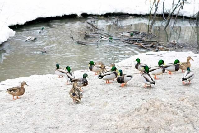 ducks winter pond