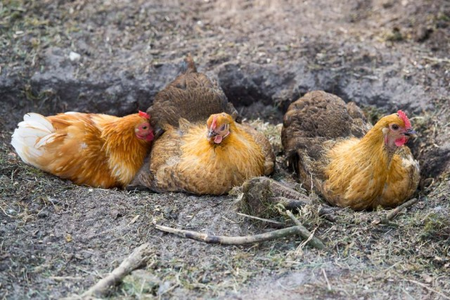 chickens taking dust bath