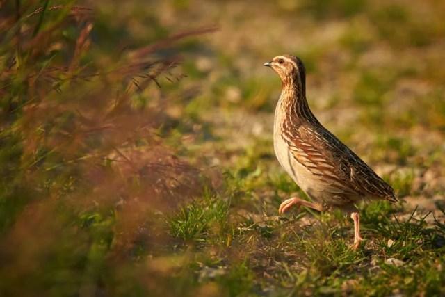 quail walking in brush