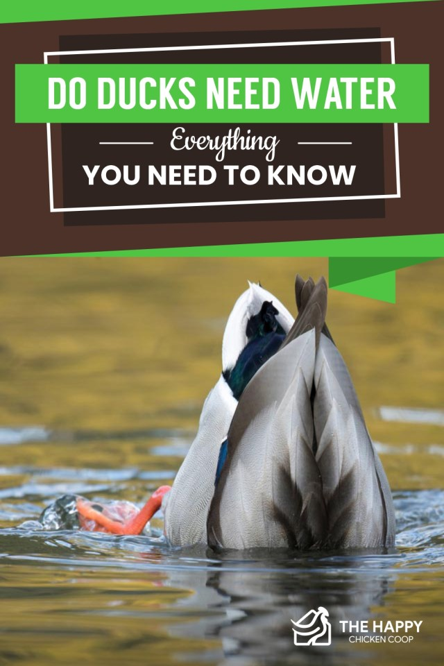 Ducks Need Water
