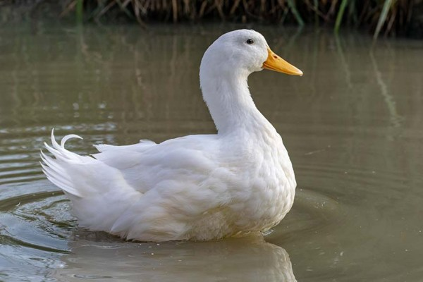 Pekin Duck Breed: Everything You Need To Know - The Happy Chicken Coop