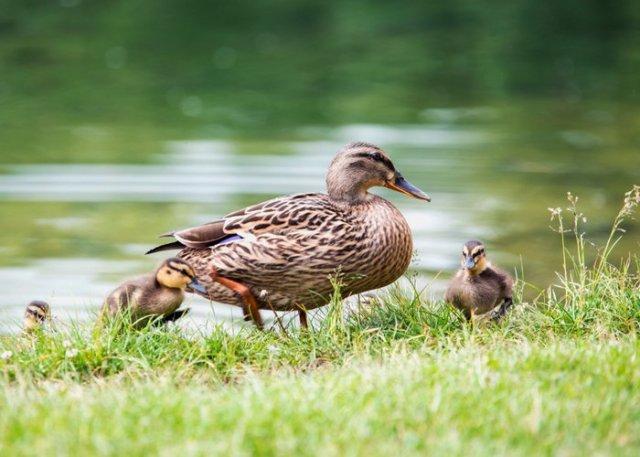 ducklings near water