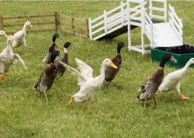 indian runner duck flock in field