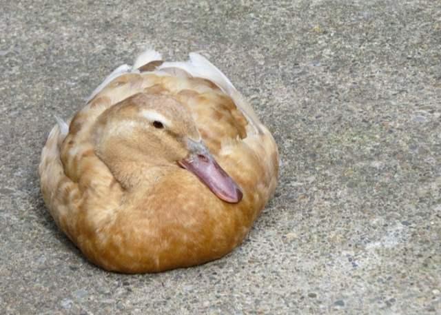 buff orpington duck sitting