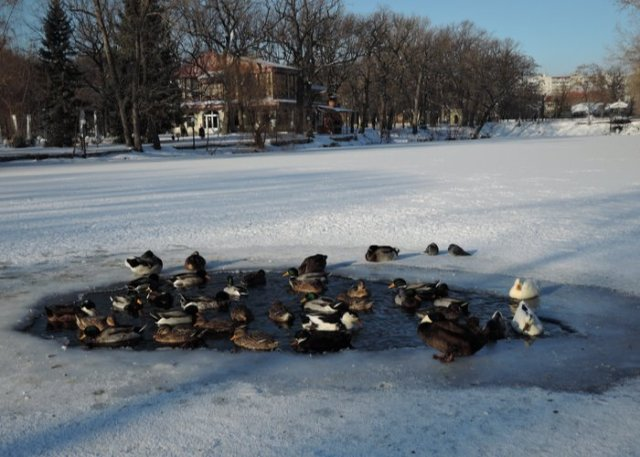 ducks in a ice pond