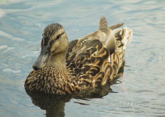 duck sitting in pond
