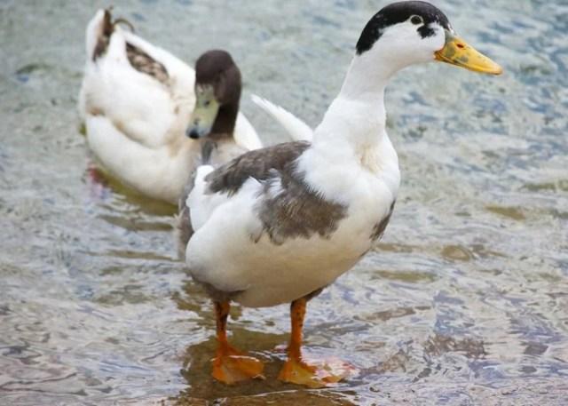 magpie duck standing in water