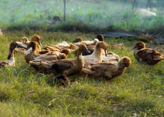 flock of ducks foraging in field