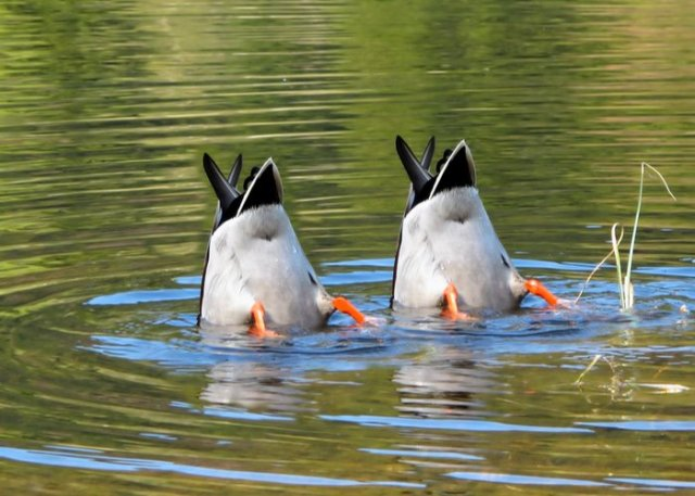 ducks cleaning themselves in water