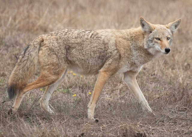 coyote searching for food