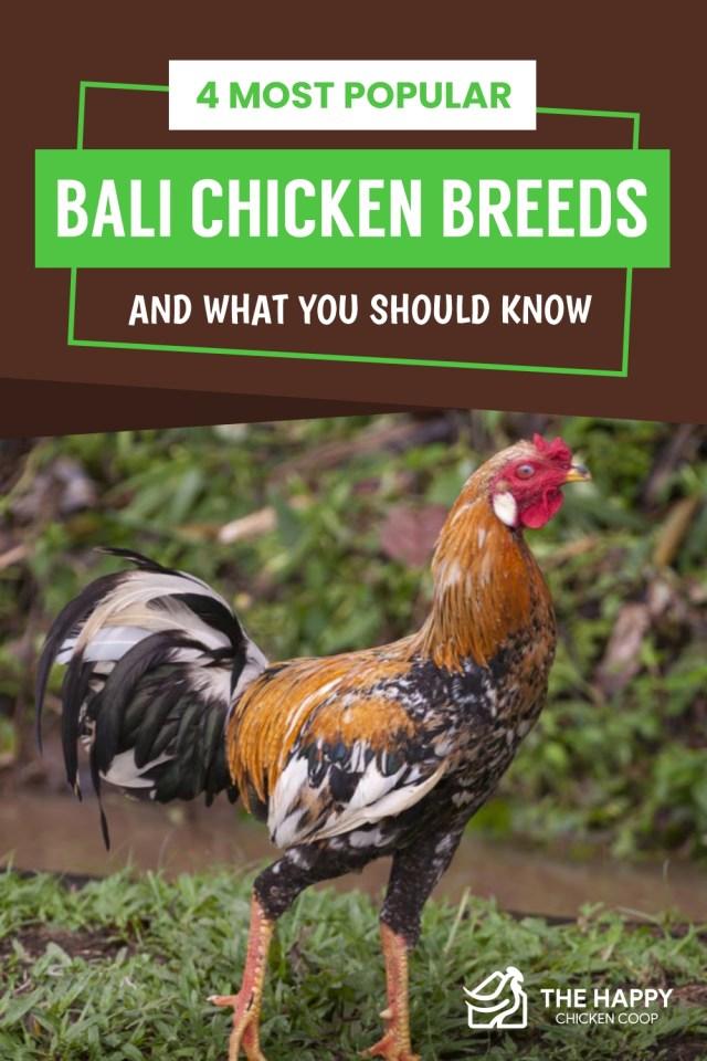 Race de poulet de Bali