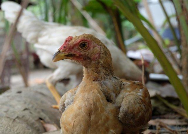races de poulet ayam kampong bali