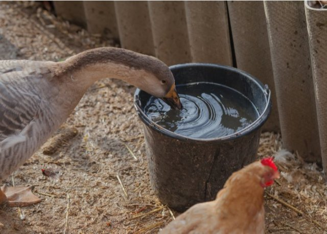 Raising Geese to protect chickens