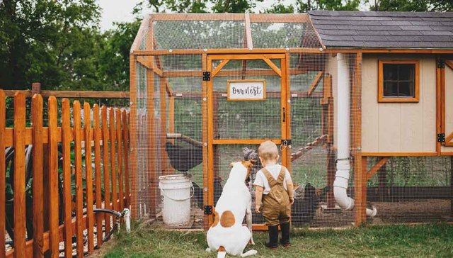 How many people have gotten chickens in the past five years