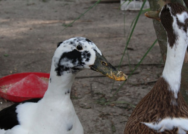 Heritage Duck breeds Ancona