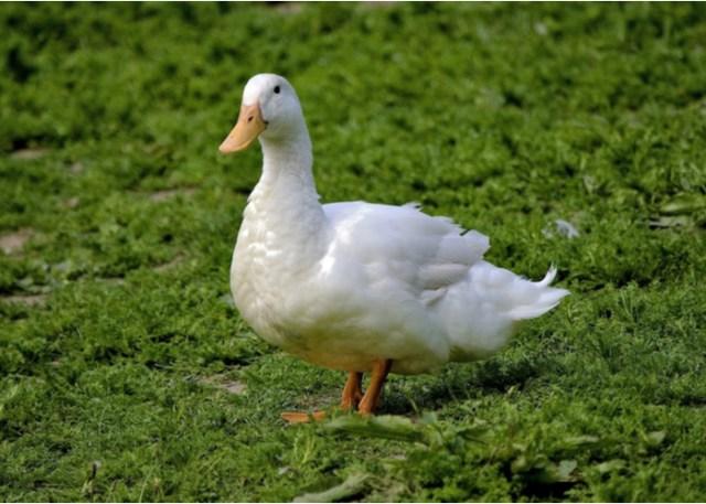 biggest duck breeds Aylesbury