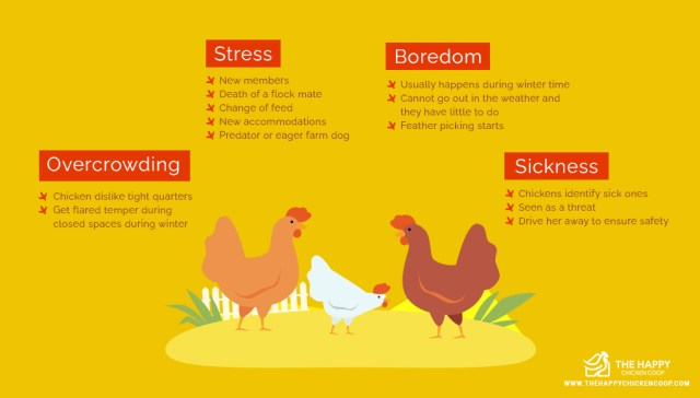 Chicken Bullying