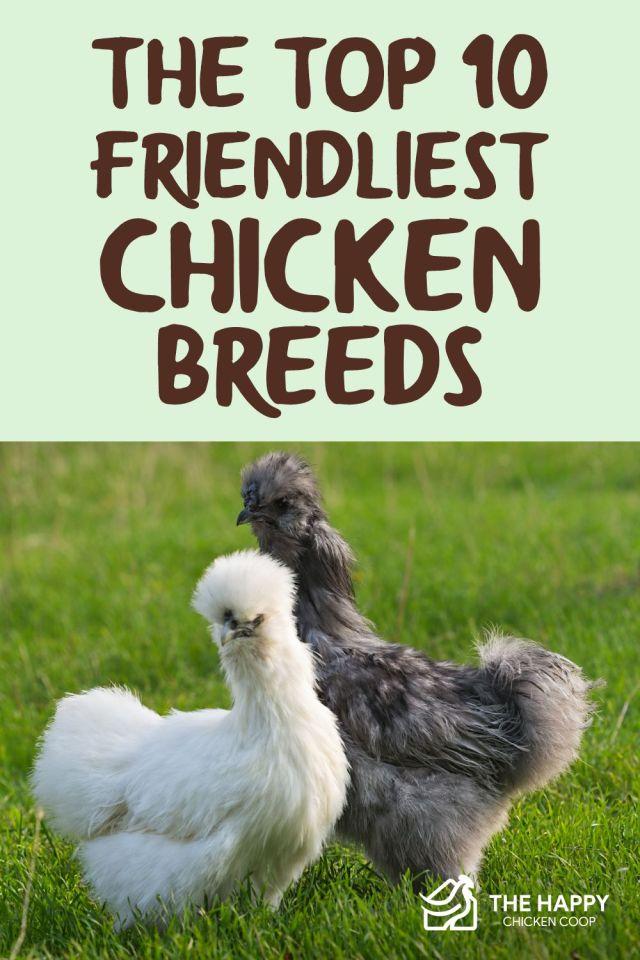 Friendliest Chicken Breeds