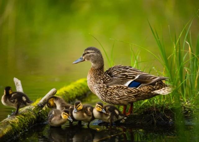 raising ducklings