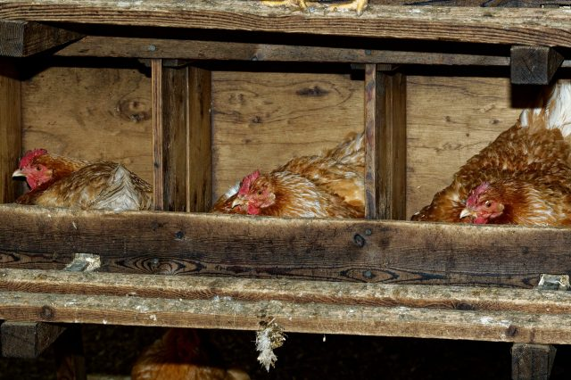 chickens in nesting box,egg bound chicken