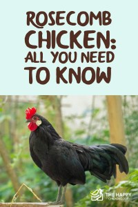 Rosecomb Chicken- All You Need To Know