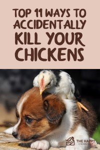 Top 11 Ways to Accidentally Kill Your Chickens