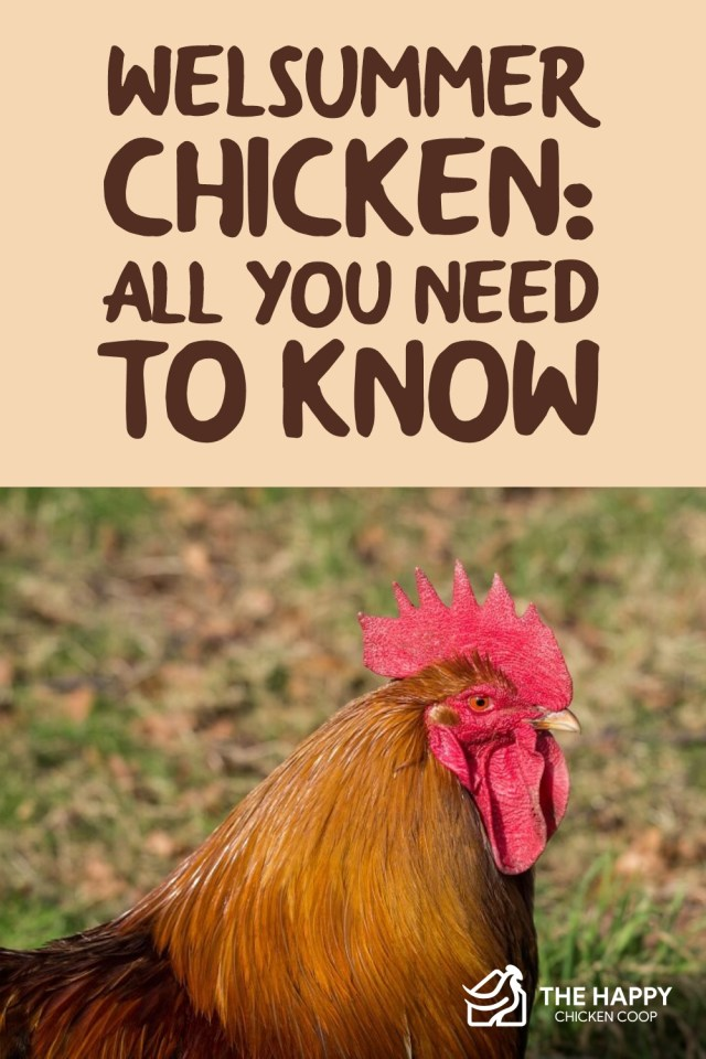 Welsummer Chicken- All You Need To Know