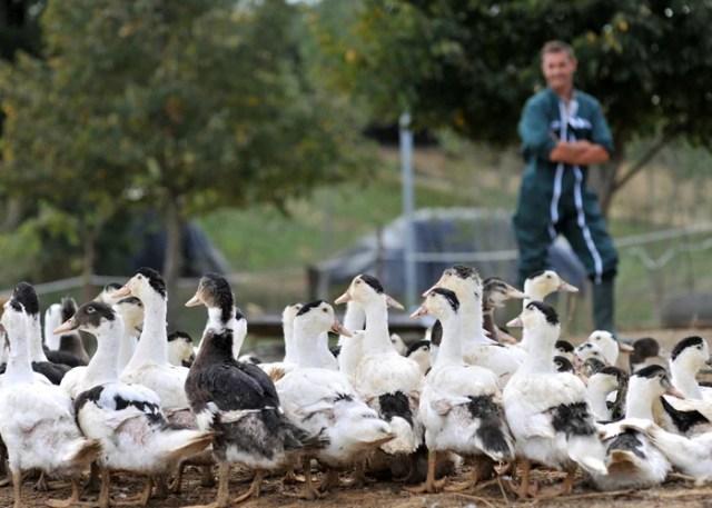 Mistakes When Purchasing Ducks