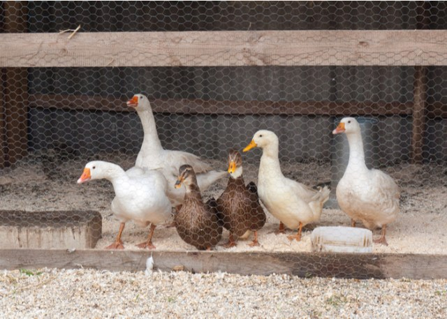 duck farm business housing