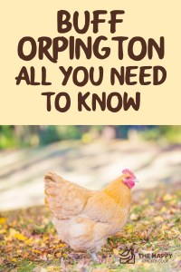 Buff Orpington All You Need To Know