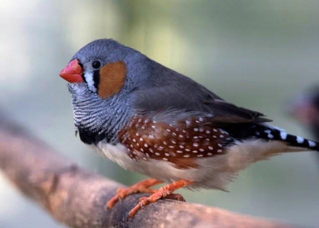 companion birds finch