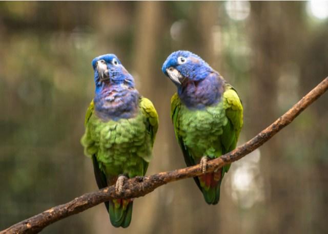 Pionus Parrots companion Birds