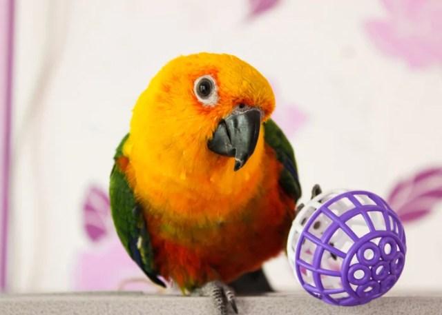 Conures companion birds