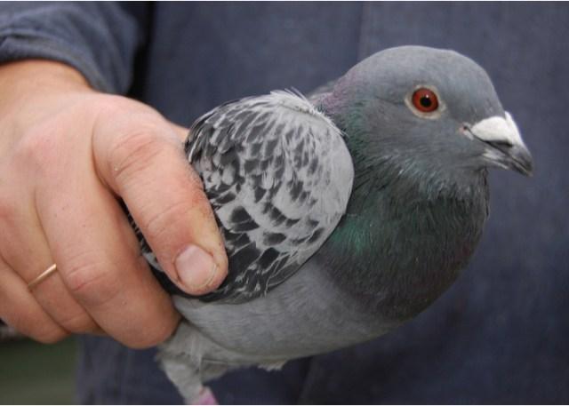 Friendliest Pet Birds Dove