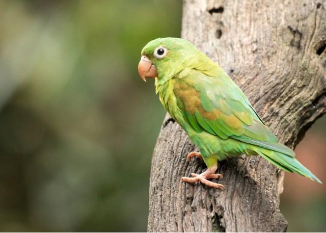 Parakeets pet bird
