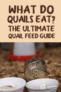 Quails Eat