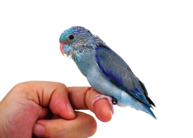 pet birds and children Pacific Parrotlet