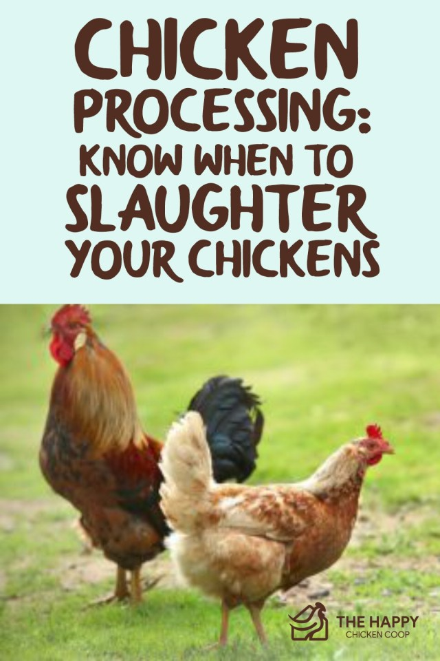 Chicken Processing- Know When To Slaughter Your Chickens