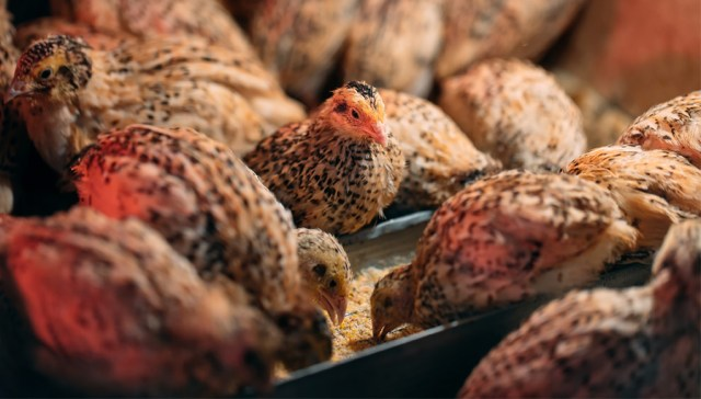 Feed for quails